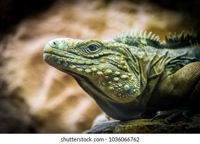 iguana images stock photos  vectors  shutterstock