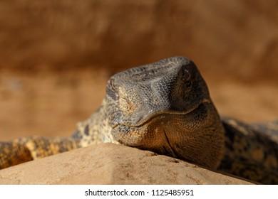 Lazy Lizard lying on a rock baking in the sun
