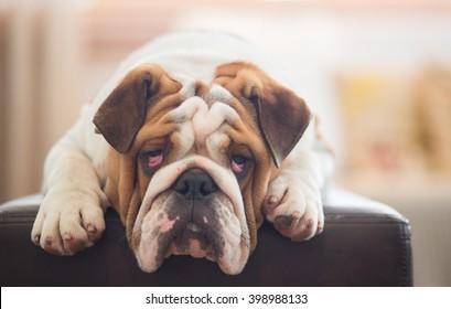 A lazy looking British Bulldog on the sofa