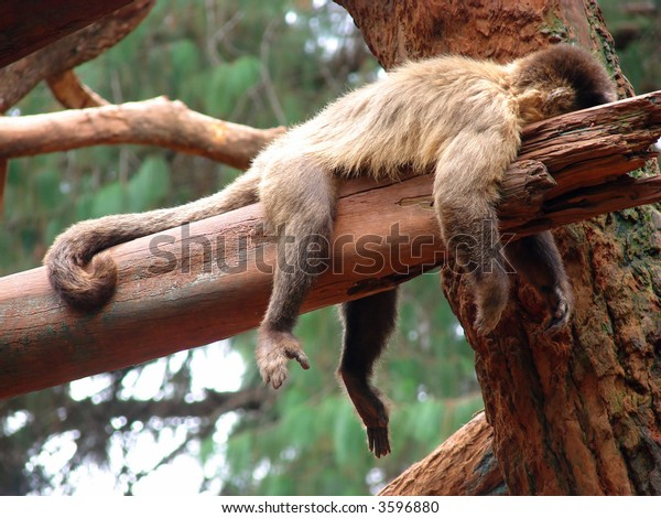 A lazy monkey laid down over a trunk.