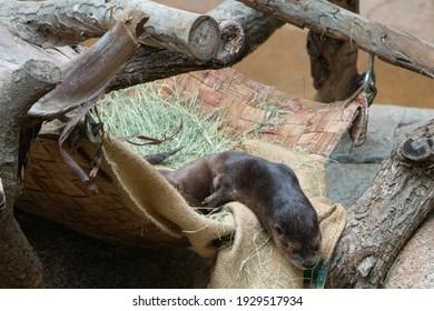 A lazy otter taking a nap
