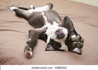 Lazy Pit Bull puppy laying with back on soft bed