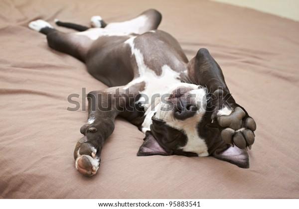 Puppy Lazy Pit Bull allongé sur un lit moelleux