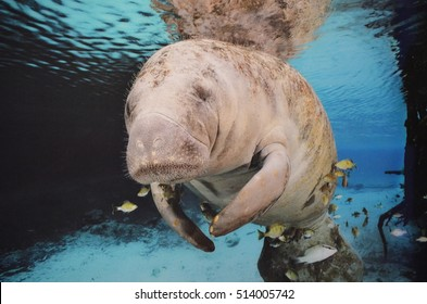 Lazy sea cow swimming underwater with fish.