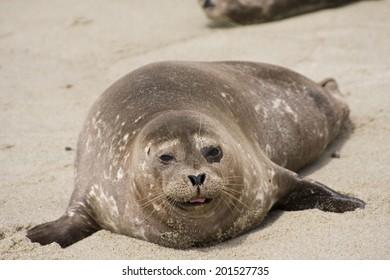 Lazy seal on a sandy beach