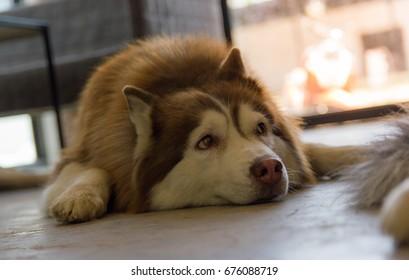 A lazy siberian husky on the floor