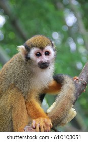 A lazy squirrel monkey on a tree at zoo. Bangkok, Thailand