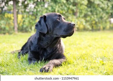 Lazy Watchdog Looking Around Listening