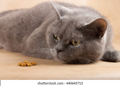 Lazy and well-fed cat looking for food and not eat