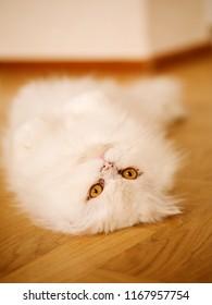 Lazy White Kitty