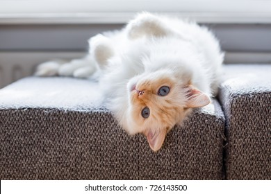 Lazy white ragdoll cat with blue eyes is laying on the couch at the window, with his head upside down and legs in the air