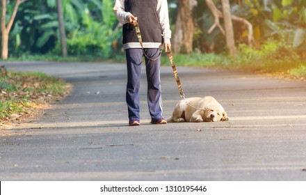 lazy young labrador retriever lie on the road in the walk training
