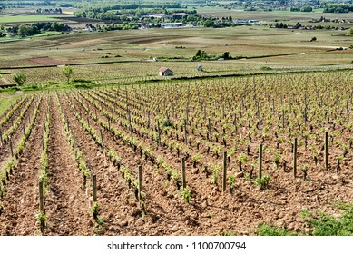 Le Corton is a grand cru vineyard in Burgundy. The small rural town of Alexe-Corton is in the background at the bottom of the hill.