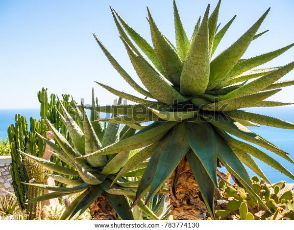 Le Jardin Exotique Deze Cactus Garden Stock Photo Edit Now 783774130