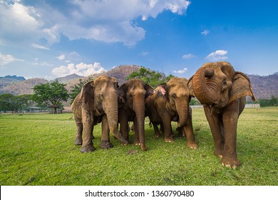 The leader of wild elephant calls the herd to the jungle,elephant herds are led by a female elephant,Cute elephant family,elephant family enjoying life,asian elephants in nature park