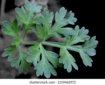 Leaf of absinthe (Artemisia absinthium)