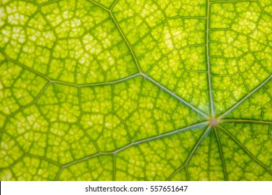 Leaf abstract background texture with veins