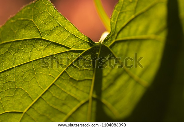 Leaf against sun