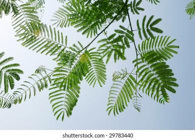 leaf of albizzia