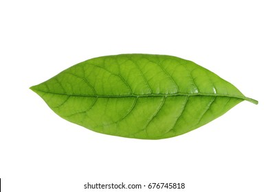 leaf of avocado isolated