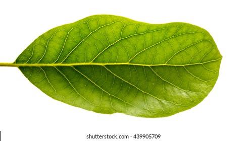 Leaf of avocado plant.