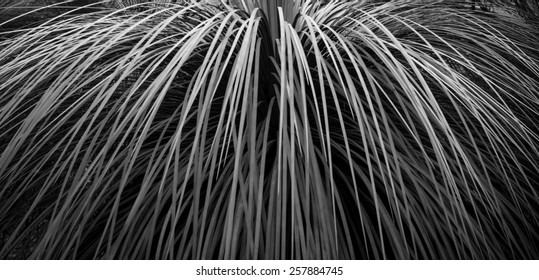 Leaf background in banner format of grass tree in Australia in black and white