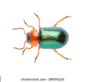 Leaf beetle Gastrophysa polygoni isolated on white background, close up of beetle. Knotweed Leaf Beetle