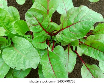 Leaf of beetroot. Dew on beet leaves. Organic green red young beet leaves. Closeup beetroot leaves from garden bed. Beetroot vegetable sprout foliage, fresh beet root plant growing on soil background
