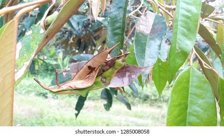 Leaf blight disease of durian