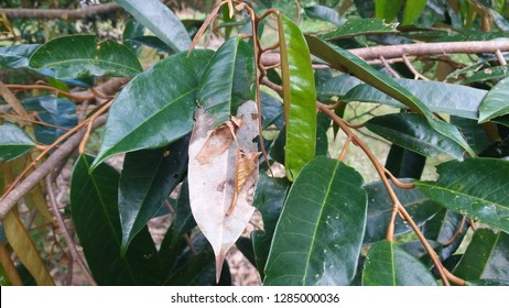 Leaf blight disease of durian caused by Rhizoctonia solani Kuhn