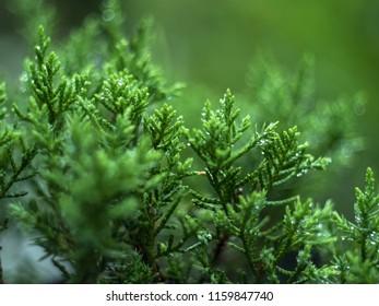 Leaf bonsai juniper after the rain