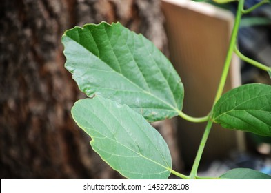 Leaf, in botany, any usually flattened green outgrowth from the stem of a vascular plant. - Shutterstock ID 1452728108