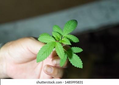 It is leaf of Bubba kush Cannabis