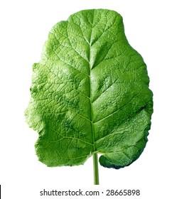 Leaf of burdock on white background (isolated).