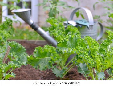 leaf of cabbage kale in a vegetable garden with an watering can background