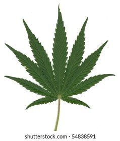 Leaf of Cannabis Sativa, with fine details