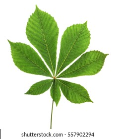 leaf chestnut on white background. Clipping path