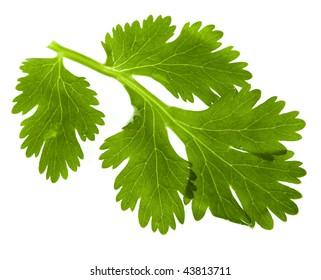 leaf  cilantro coriander isolated on white background