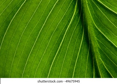 leaf close up, leaf proveins