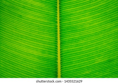 Leaf closeup, Light fresh green background, Bright green leaf with large streaks of macro. Sheet structure.