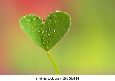 leaf clover with dew in heart shape