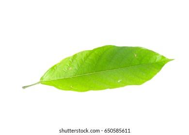 Leaf  cocoa Close up
