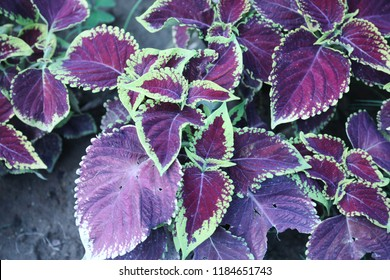leaf of coleus