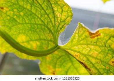 leaf of cucumber, corrupted spider mites Tetranychus urticae