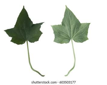 leaf cucumber set