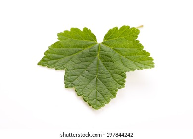 Leaf of currant isolated on white