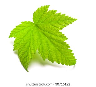 Leaf of currants on a white background. Shallow DOF.