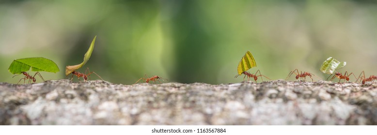 Leaf cutter ants marching to nest carrying sections of leaves