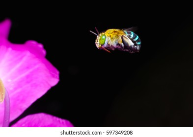Leaf cutting bee,Megachilidae,Blue-banded bee flying and pink flower