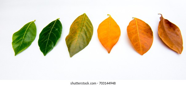 Leaf cycle on White Background